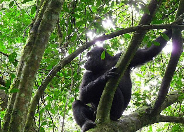 Tracking chimpanzees on our gorilla trekking and chimpanzee safari
