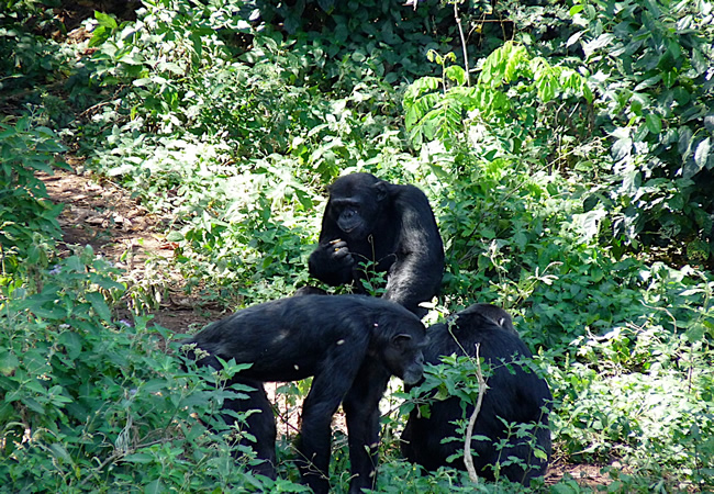 seeing Chimpanzees on flying Uganda safari