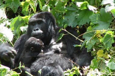 5 Days Gorilla Trekking Uganda