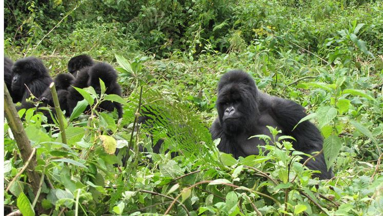 seeing Gorillas on 3 days gorilla safari