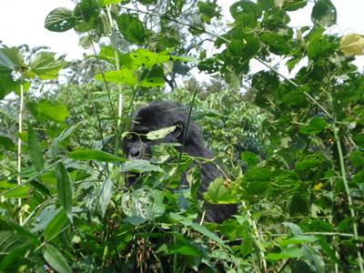 8 Days Uganda Gorilla Trekking