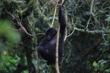 3 Days Gorilla Safari
