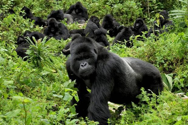Gorillas in Mgahinga Kisoro
