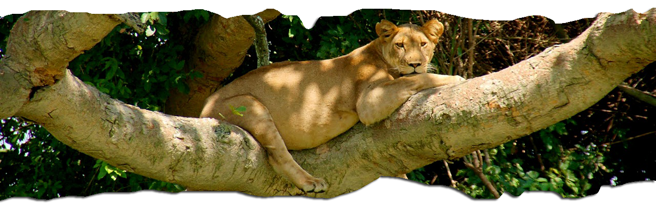 tree climbing lions on 14 days Uganda safari