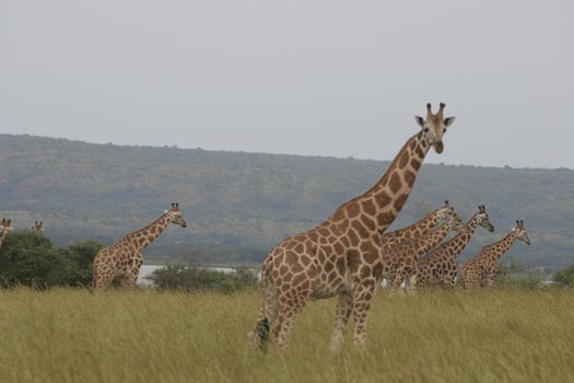 Giraffes in Murchison falls on 13 days uganda safari