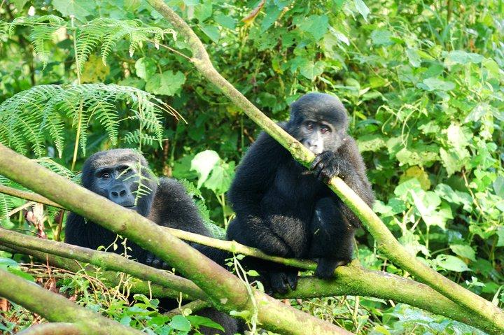 view mountain gorillas on luxury wildlife safari