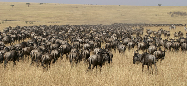mixed beests on wildebeest migration safari