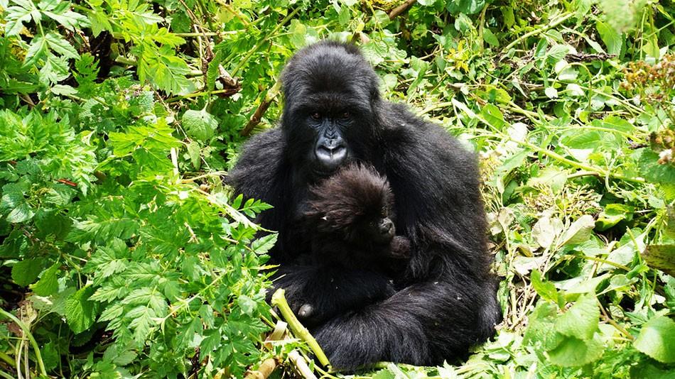 5 Days Rwanda & Uganda Gorillas