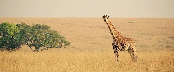 giraffe in Murchison falls national park