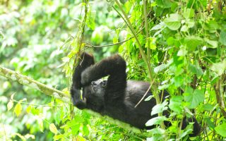 4 Days Discounted Flying Gorilla Trekking Safari
