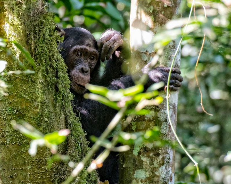 Chimpanzee in Nyungwe National Park