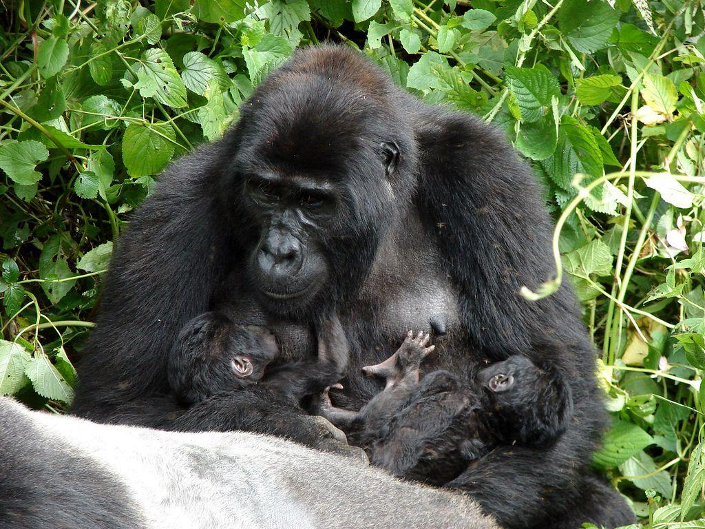 5 Days Uganda Primates Safari Gorillas Amp Chimp Tracking