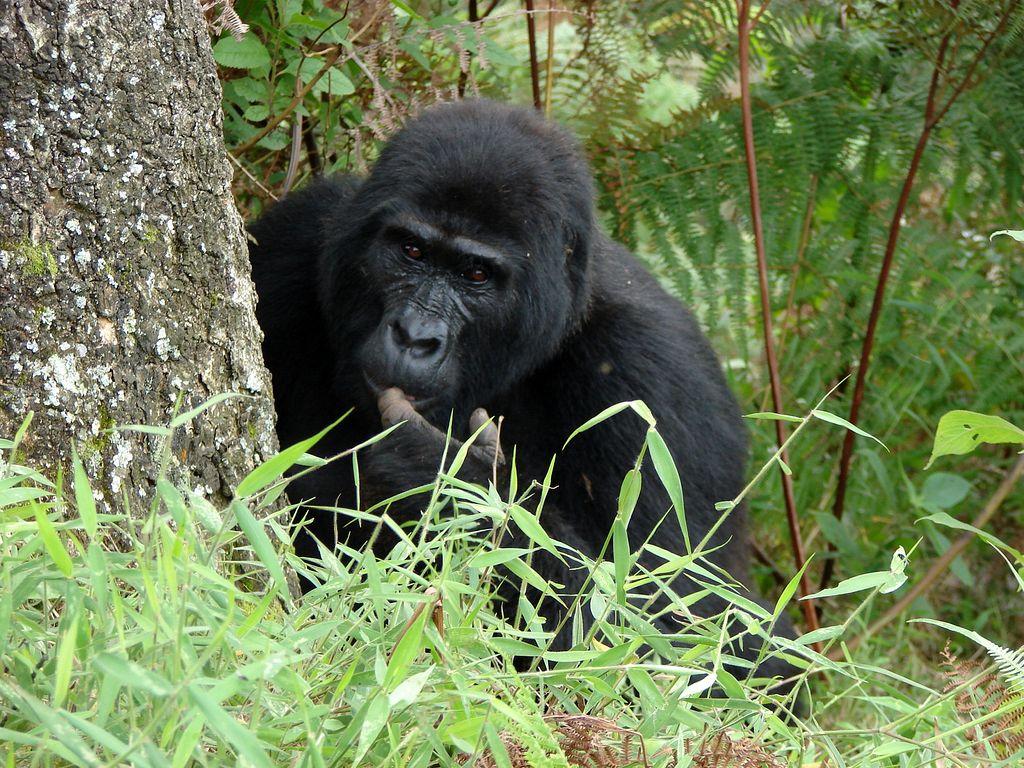 mountain gorilla in volcanoes national park