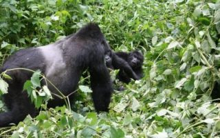 4 days Gorilla Safari to Bwindi