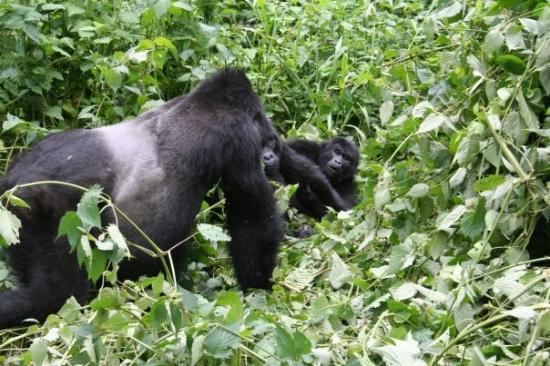4 days Gorilla Safari to Bwindi