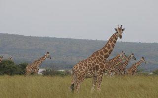 Giraffes in Murchison falls on 10 days uganda safari