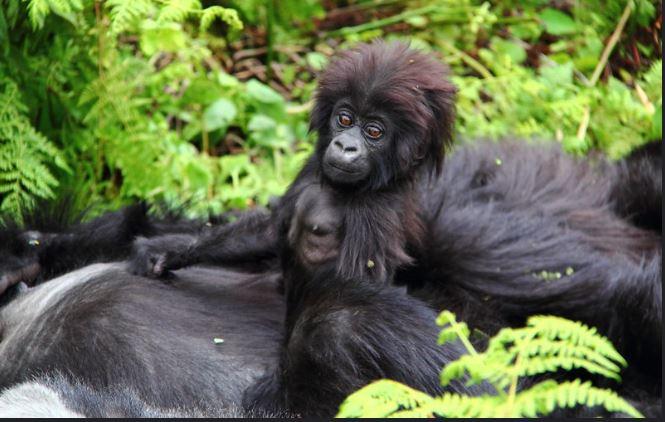 Best Tips for Mountain Gorilla trekking