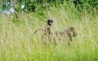 7 Days Uganda Luxury Wildlife Safari