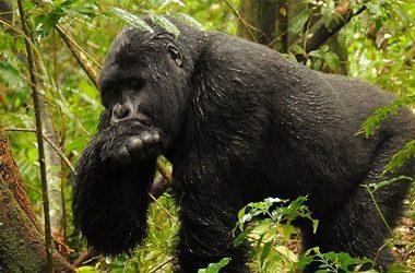 Comparing Gorilla Tracking