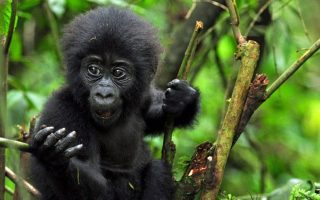 Africa Gorilla Tracking Review