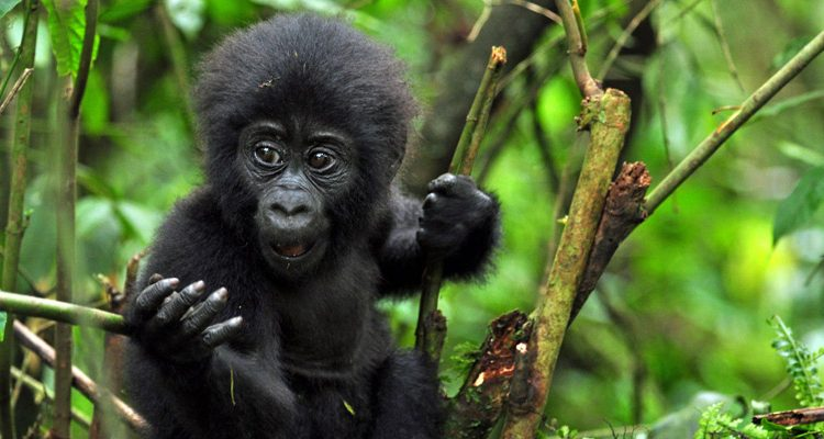 Africa Gorilla Tracking Review Guide For Gorilla Tours