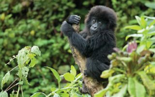 Tips for Mountain Gorilla trekking