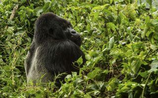 Gorilla Habituation Review / Guide