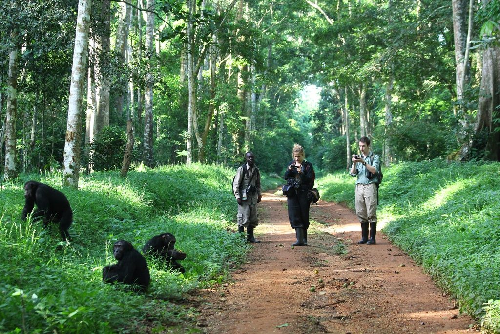 Chimpanzees in Budongo Forest