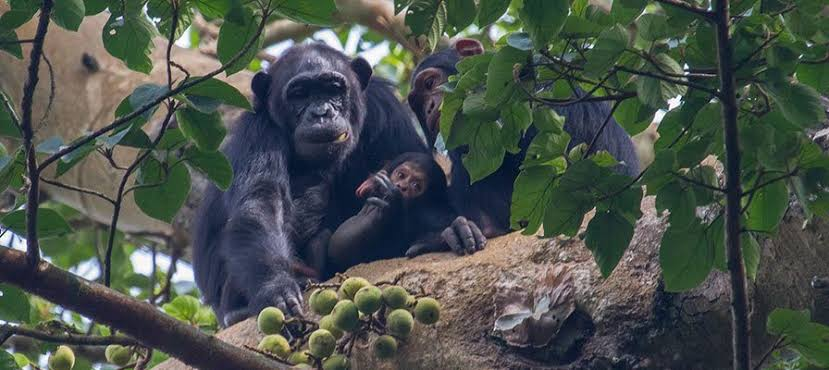 All About Chimpanzee Habituation In Uganda