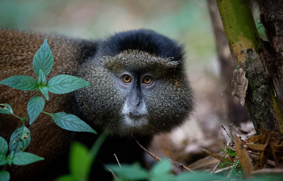 tracking golden monkeys  in Uganda