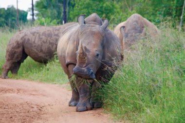 ziwa-rhinos2