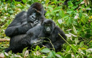 5 Days Congo Mountain Gorillas and Kahuzi Biega