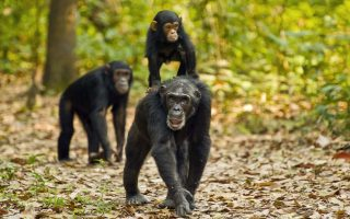 3 Days Kibale Chimpanzee Safari
