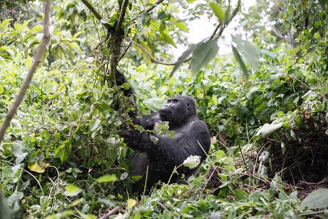 Lowland Gorilla in Kahuzi Biega