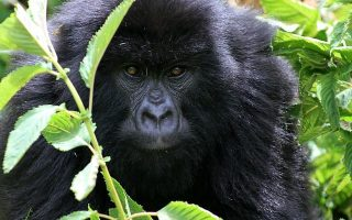 Getting a Gorilla Trekking Permit in Congo