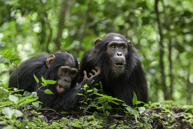 Innocent Chimpanzees Poached