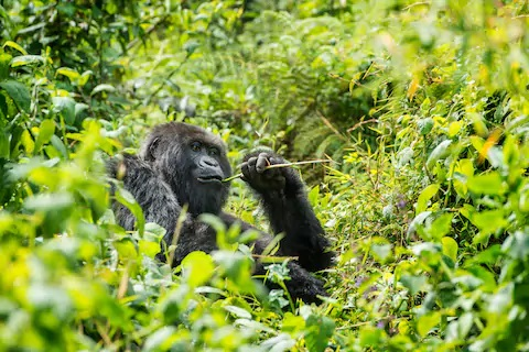 Gorilla Trekking Tours are so interesting and fascinating