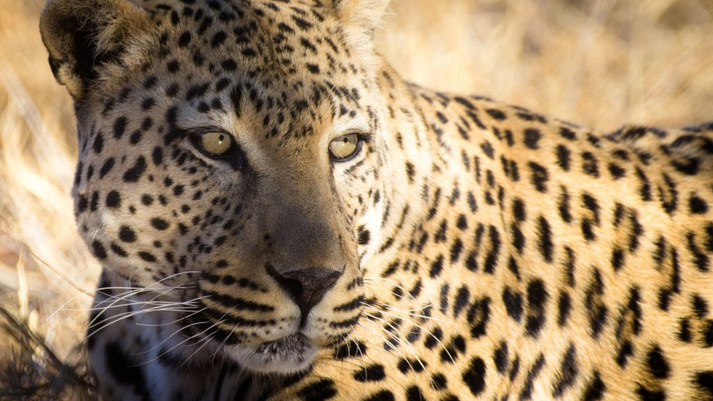 Leopard Africa's Big Five