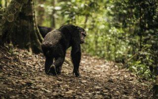 Chimpanzee in Nyungwe National Park