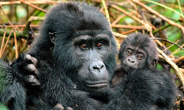 Gorillas in Nkuringo Sector of Bwindi