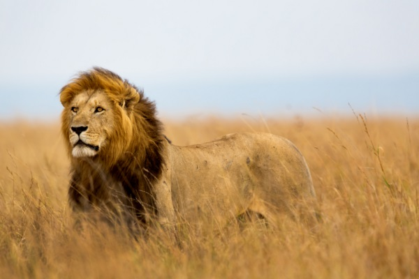 African Lion Africa's Big Five