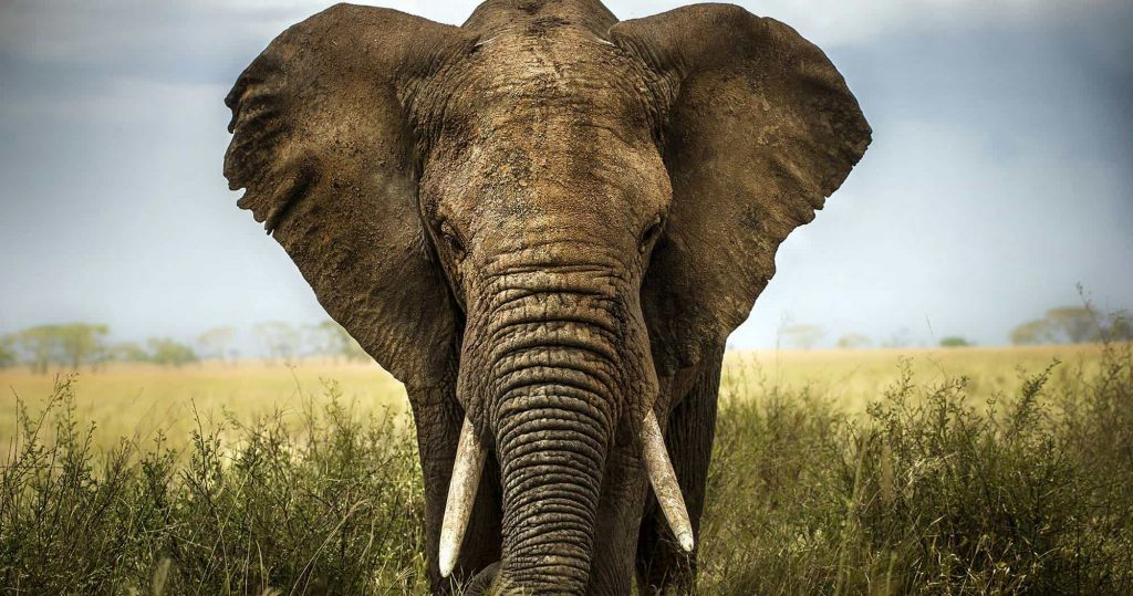 African Elephant Africa's Big Five