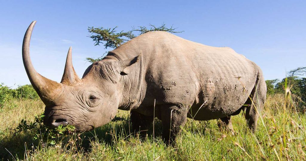 Rhinocerous Africa's Big Five