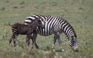 Mutated Zebra in Masai Mara