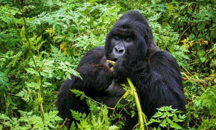 3 Days Uganda Gorilla & Rwanda Golden Monkey trekking safari