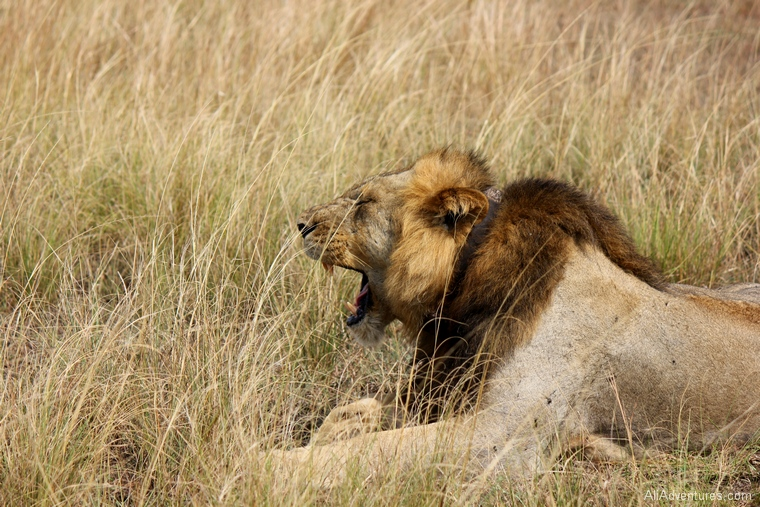 lion research tracking