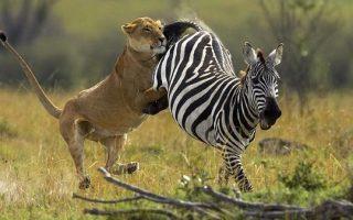 8 Days Amboseli Masai Mara & Naivasha Safari