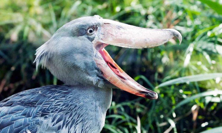 14 Days Uganda Birding Safari