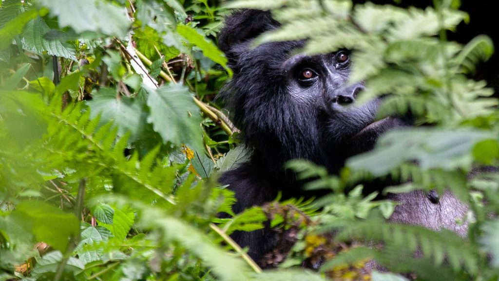 8 Days Uganda Wildlife & Gorilla Trekking tour