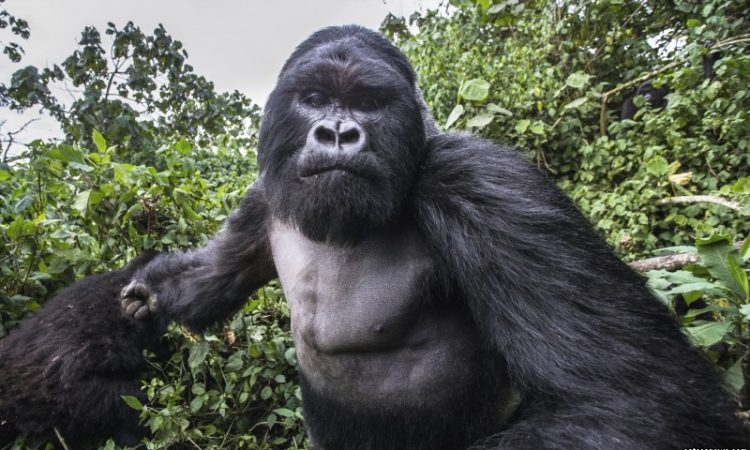 what to do when a gorilla charges